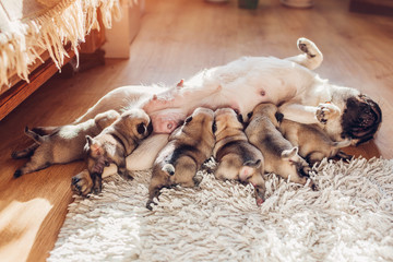Pug dog feeding six puppies at home. Dog lying on carpet with kids