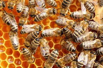 viele Bienen auf der Honigwabe