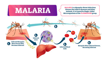 Malaria vector illustration. Mosquito bite blood infected disease