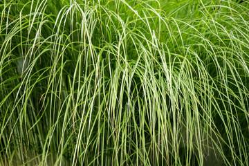 Fotoväggar - Hintergrund aus grünen Grashalmen