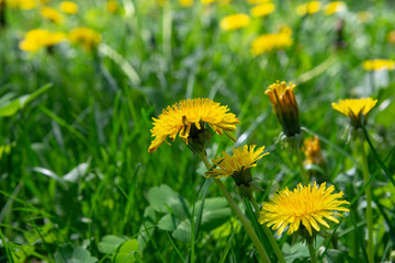 dandelions in a meadow