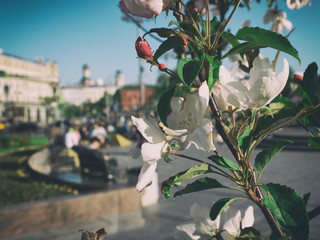 Blooming branch of Apple tree on blurred background of the urban jungle