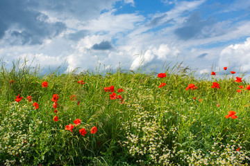 Meadow with poppies in summer Fotoväggar