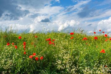 Fotoväggar - Meadow with poppies in summer
