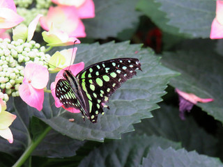 Tailed jay-Graphium agamemnon butterly on a pink flower