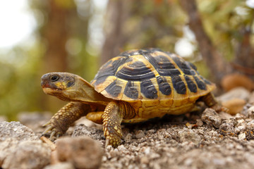 Fotobehang Schildpad Tortue hermann se déplaçant dans son milieu naturel