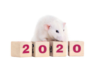 White rat standing on wooden toy blocks with 2020 on them