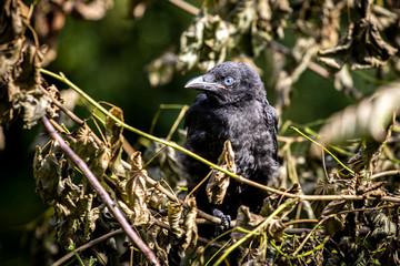 Jungvogel Krähe , junge Krähe