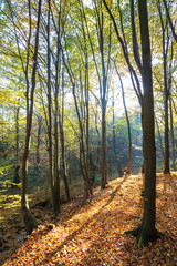 autumn forest on a sunny day. beautiful nature background with trees in yellow foliage. lots of fallen foliage on the ground