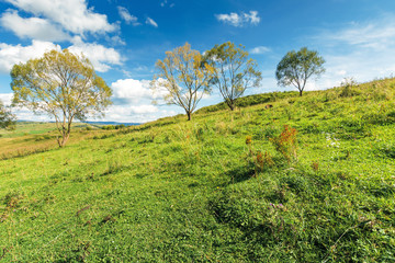 trees on the grassy hillside in early autumn. beautiful scenery at high noon. fluffy clouds on the sky