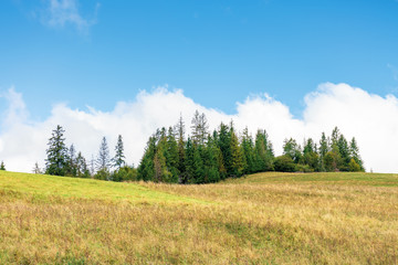 spruce forest on the hill. beautiful countryside scenery in early autumn. weathered grass on the meadow. big white cloud behind the landscape