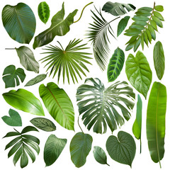 Poster Palmier More beautiful exotic tropical leaves, isolated leaf background