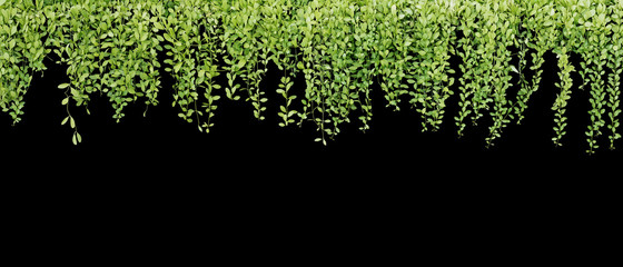 Wall Mural - Green succulent leaves hanging vines ivy bush climbing epiphytic plant (Dischidia sp.) after rain in tropical rainforest isolated on black background, nature backdrop or banner with clipping path.