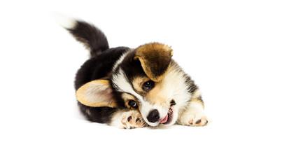 Fototapete - cute little puppy, welsh corgi