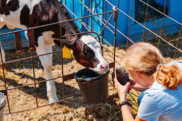 Girl taking photo of young calf by mobile phone