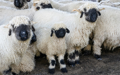 funny black nosed sheep in the mountains of Zermatt, Valais, Wallis,