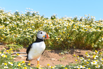 The islands of Pembrokeshire give you the opportunity to get close to wild Atlantic puffins during spring and summer when the wild flowers are in full bloom. Pembrokeshire, Wales, UK