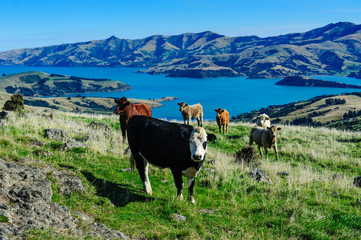 Cows grazing above the Akaroa harbour, Banks Peninsula, South Island, New Zealand