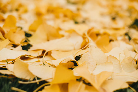 Soft focus of fallen yellow leaves covering green grass outdoors