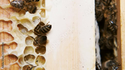 Wall mural Honey bees produce honey. Close shot of the work of bees.