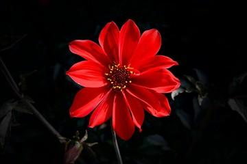 Beautiful Red Dahlia 'Bishop of Llandaff' flower on bokeh background