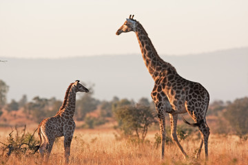 Photo sur Aluminium Girafe South African giraffe, cape giraffe, giraffa giraffa giraffa, Kruger national park
