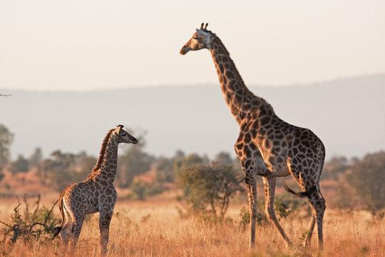 South African giraffe, cape giraffe, giraffa giraffa giraffa, Kruger national park