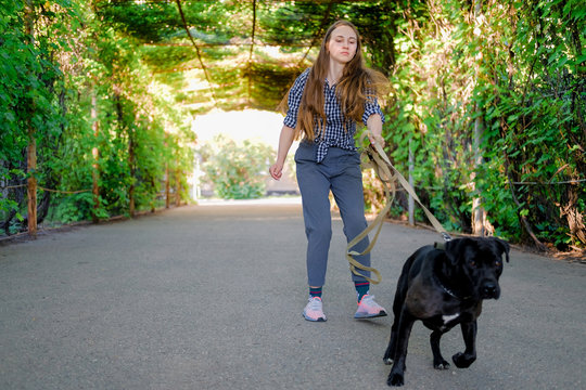 Young girl is walking with her dog pulling the leash on asphalt sidewalk. Strong black labrador and stafford terrier mix breed in green summer park.