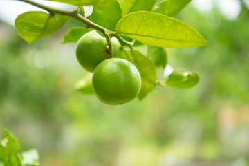 Green limes on a tree - Fresh lime citrus fruit high vitamin C in the garden farm agricultural with nature green blurbackground at summer