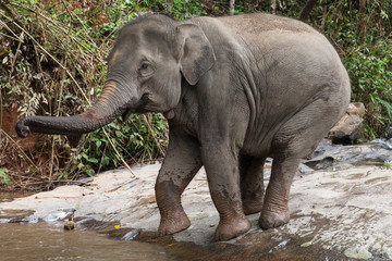 Elephant Entering into the Water