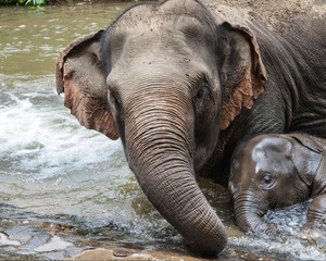 Mother Elephant Bathing with her Baby