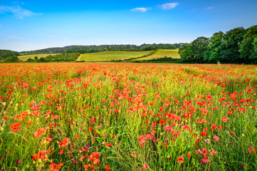 Poppies in Hayfield at Corbridge, a hay meadow full of red poppies in summer near Corbridge in Northumberland, England
