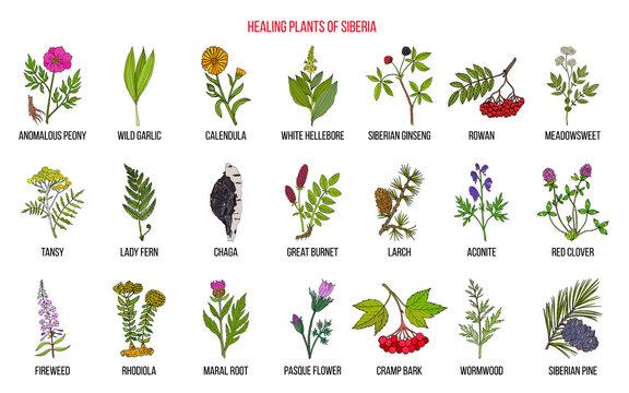 Medicinal herbs of Siberia