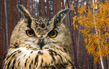 Wall Mural - The horned owl against the background of the autumn forest with pine trees and birch with yellow leaves.