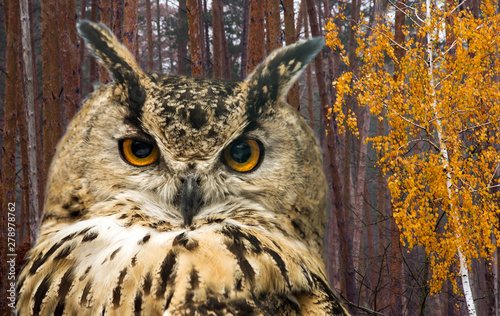 Wall mural The horned owl against the background of the autumn forest with pine trees and birch with yellow leaves.