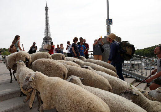 Shepherds and hikers guide a flock of sheep on the Passerelle Debilly over the River Seine near the Eiffel Tower in Paris