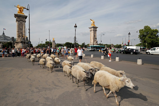 Shepherds and hikers guide a flock of sheep near the Alexandre III bridge during the last stage of the urban Transhumance of the Grand Paris (Greater Paris) in Paris