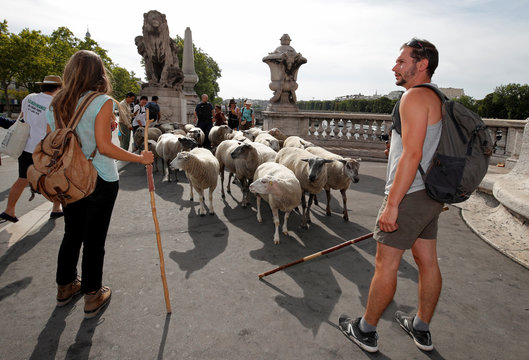Shepherds and hikers guide a flock of sheep on the Alexandre III bridge during the last stage of the urban Transhumance of the Grand Paris (Greater Paris) in Paris