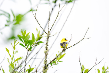 Rear view of a Goldfinch bird perched on a tree branch Fotobehang