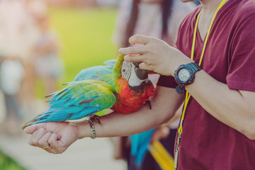 Colorful macaw parrot perching on the hand and wait to fly for excercise in the field. Selective focus on left hand. Wall mural
