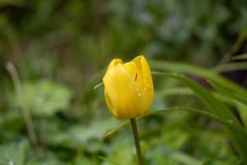 Türaufkleber Tulpen yellow tulp