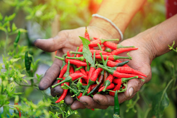 Red hot chili peppers in hands ,Hands holding fresh chili,Organic vegetables
