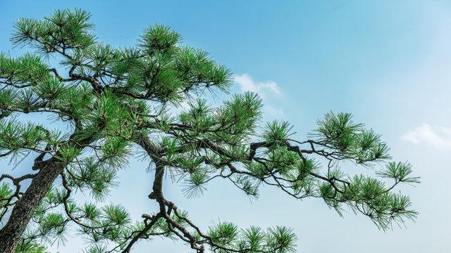 青空を背景に松の木