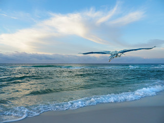 Wall Mural - Great Blue Heron Flies Down the Beach as the Sun Rises