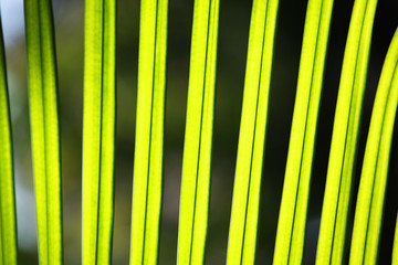 Wall Mural - close up texture of fresh palm leaf background