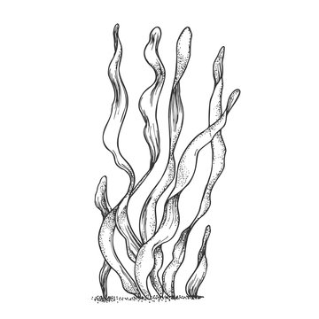 Underwater Organism Algae Seaweed Doodle Vector. Algae Organic Leaf Branch Exotic Spirulina Plant Ornamental Aquarium Decoration Concept. Designed In Retro Style Mockup Monochrome Illustration
