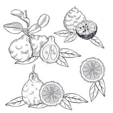 Hand drawn bergamot and tea leaves. Vector sketch  illustration.