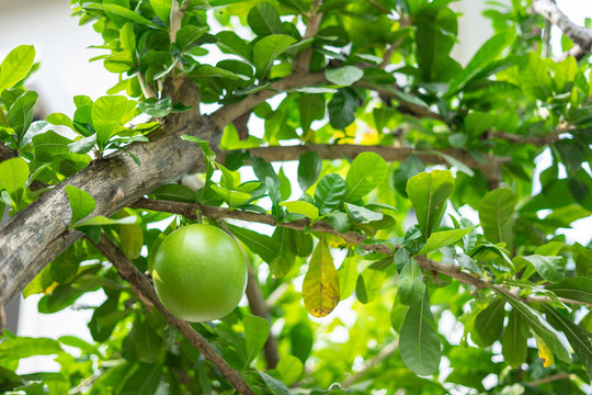 A green fresh friut of  Calabash tree or Crescentia cujete, is species of flowering plant that is native to Central, South America, West Indies and southern Florida.