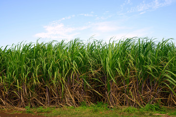 Sugar cane field with blue sky.