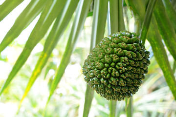 Common screwpine ( Pandanus utilis ) closeup. Exotic tasty fruit from tropical island Madagascar.
